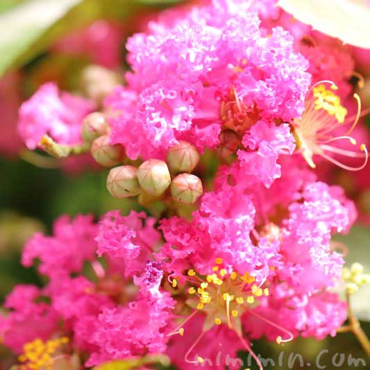百日紅の写真 花言葉 誕生花