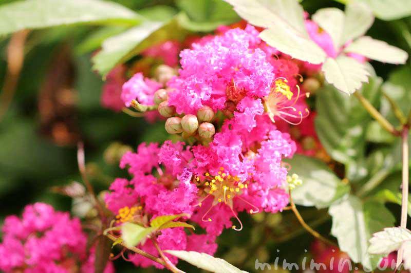 百日紅の花の写真 花言葉 誕生花の画像
