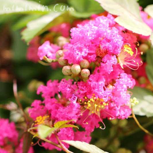 百日紅の写真と花言葉と誕生花の画像