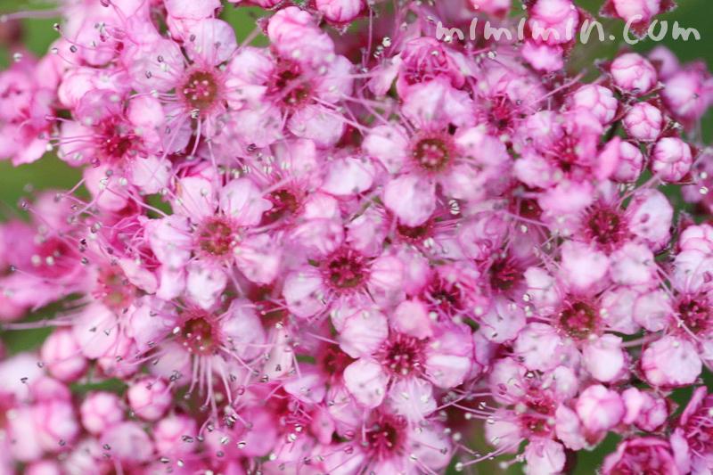 シモツケ(ピンク)の写真と花言葉