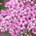 シモツケ(ピンク)の写真 花言葉の画像