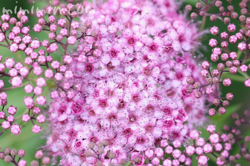 シモツケ(ピンク)の花の写真と花言葉の画像