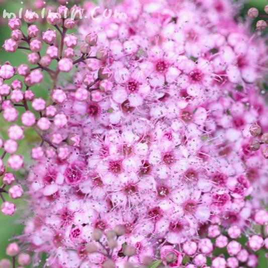 下野(ピンク色)の花の写真 花言葉の画像