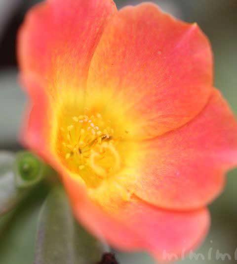 ポーチュラカの花の写真・花言葉
