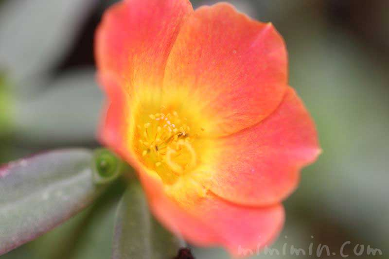 ポーチュラカの花の写真(オレンジ色)
