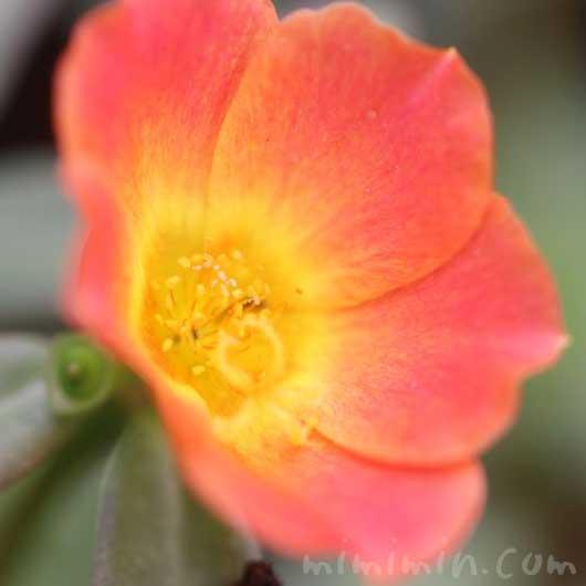 ポーチュラカ(オレンジ色)の画像