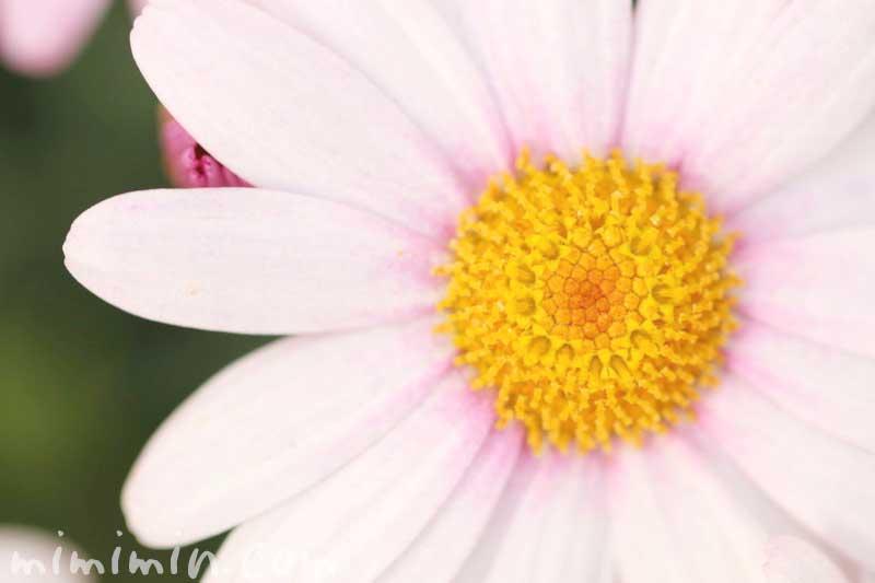 マーガレットの写真 花言葉来と別名