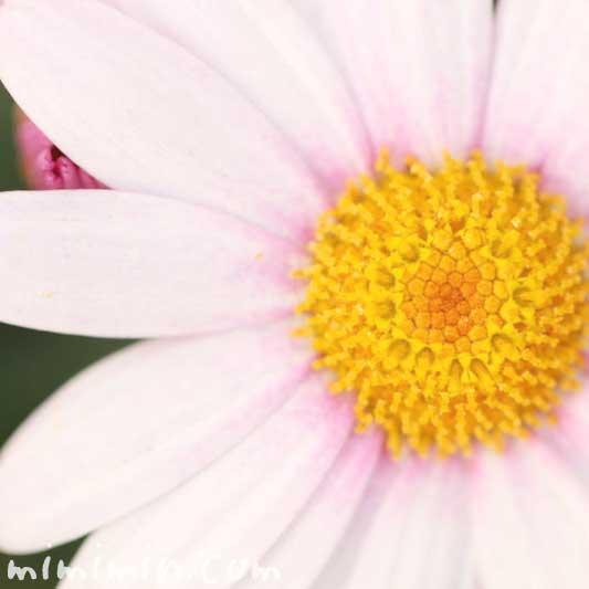 マーガレットの花の写真と花言葉・名前の由来と別名