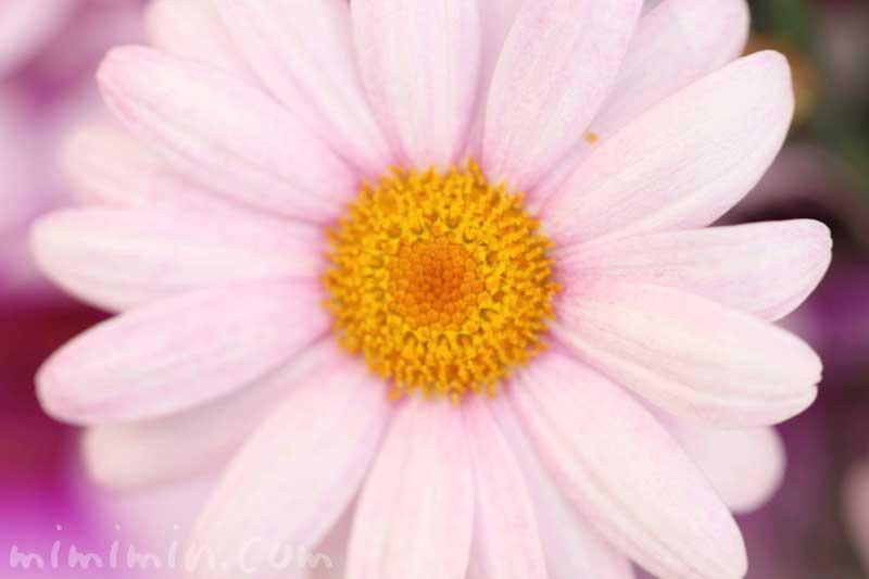 マーガレットの写真と花言葉・名前の由来と別名の画像