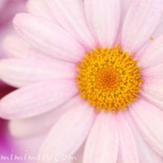 マーガレットの写真と花言葉と名前の由来と別名