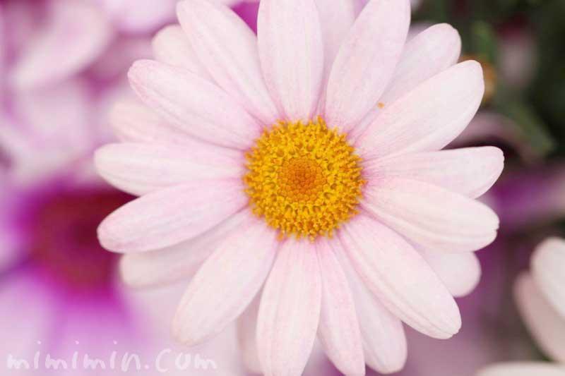 マーガレットの花の写真・花言葉・名前の由来と別名の画像