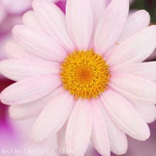 マーガレットの写真と花言葉来と別名の画像
