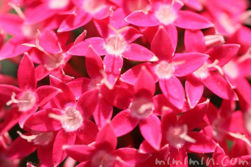 ペンタス(濃いピンク色)花の写真&花言葉の画像