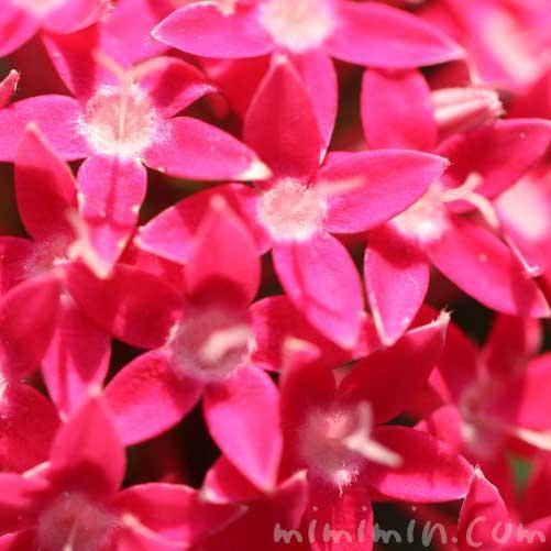 ペンタス(濃いピンク色)の花の写真と花言葉