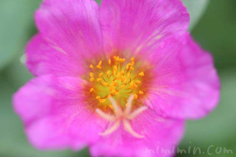 ハナスベリヒユの花言葉・誕生花と花の写真
