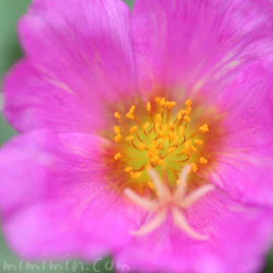 ポーチュラカの花言葉・誕生花・花の写真の画像