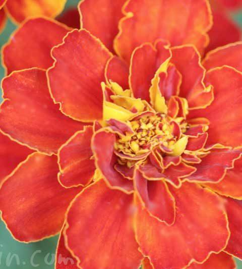 マリーゴールドの花言葉(色別)・マリーゴールドの花の写真