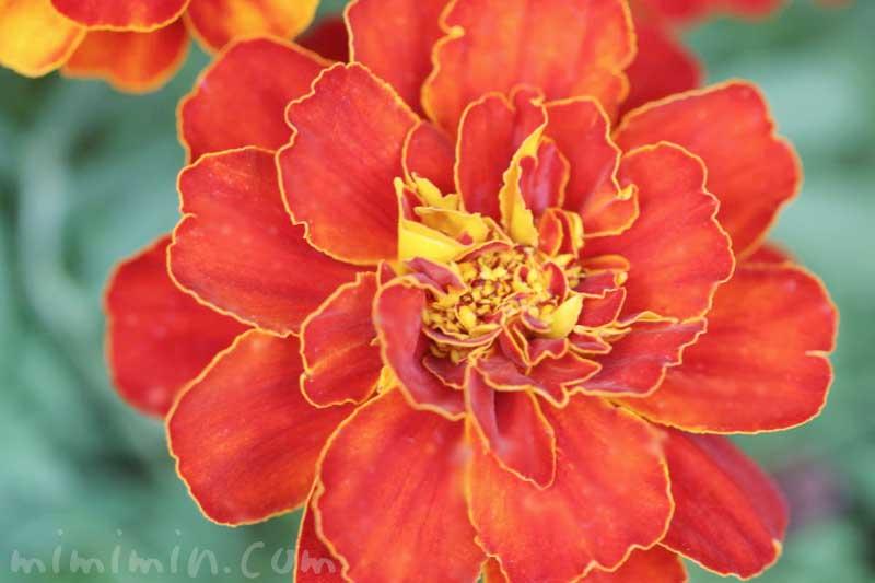 濃いオレンジ色のマリーゴールドの画像