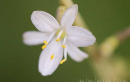 オリヅルランの花の写真