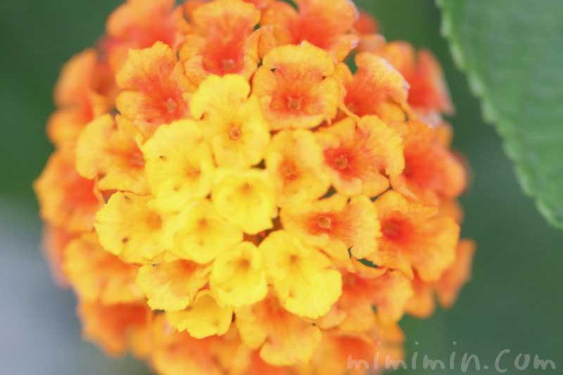シチヘンゲの花(オレンジ色×黄色)の写真