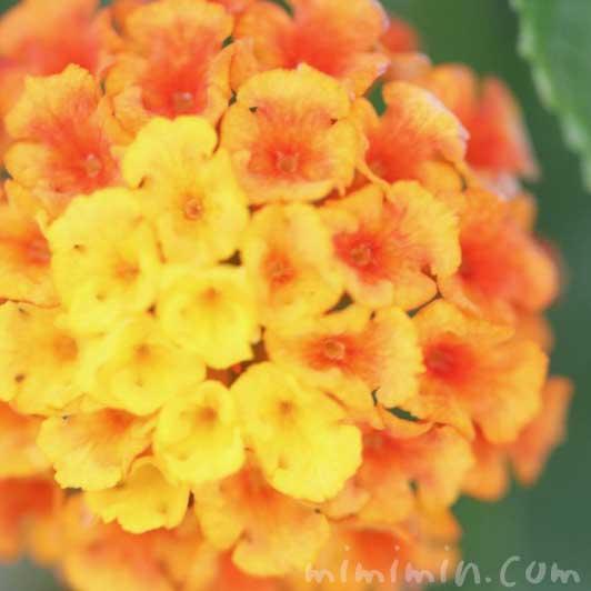 ランタナ(オレンジ×黄色)の画像