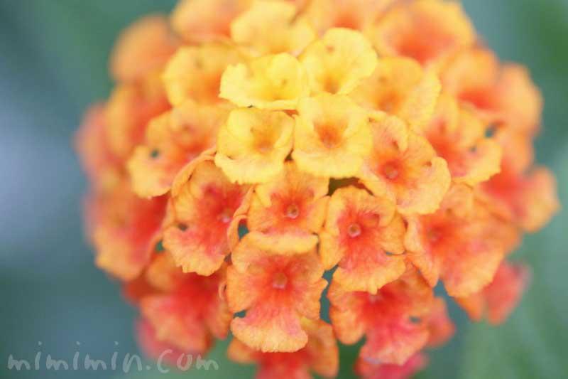 ランタナ(オレンジ色×黄色)