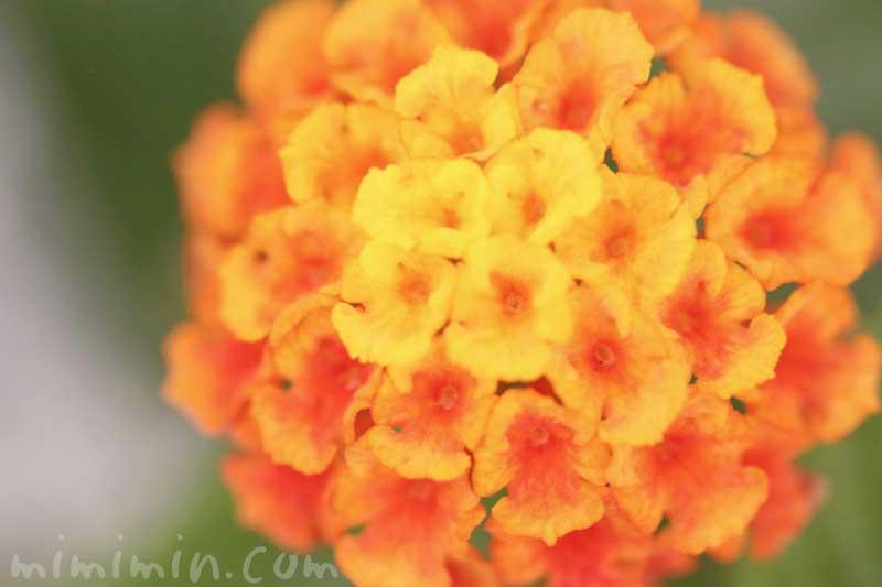 ランタナの花(オレンジ色×黄色)の写真