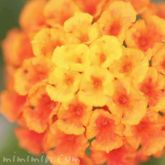 ランタナの花(オレンジ×黄色)