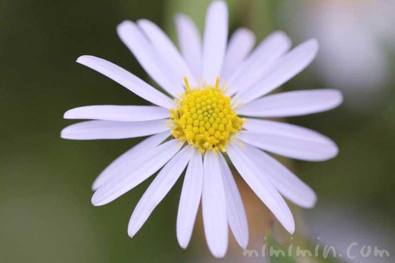 ヒメジョオンの花の写真・花言葉・誕生花の画像