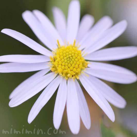 姫女苑の花言葉・誕生花の画像