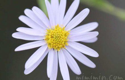 ヒメジョオンの花言葉と誕生花