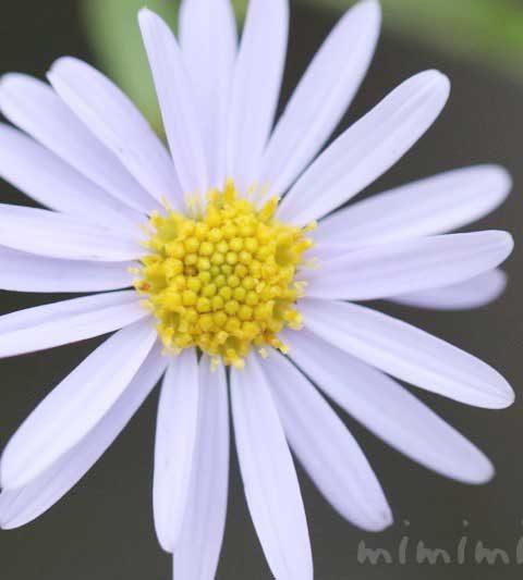 ヒメジョオン(姫女苑)の花言葉・名前の由来・誕生花