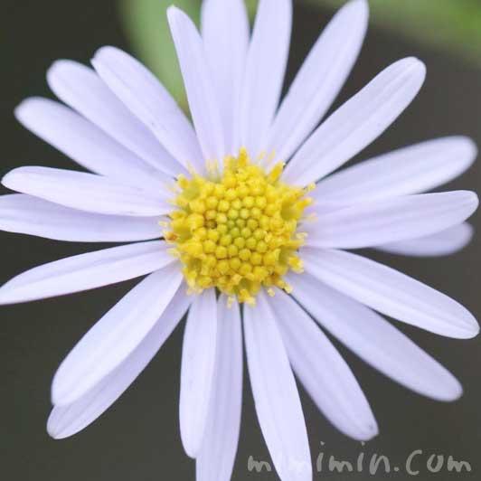 ヒメジョオンの花の写真と花言葉と誕生花