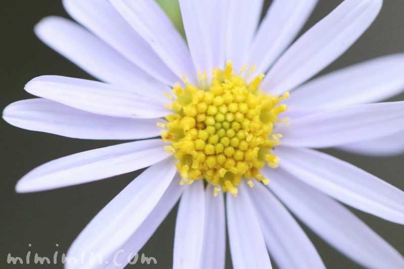 ヒメジョオンの花言葉・誕生花の画像