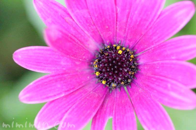 赤紫色のオステオスペルマム|花の写真 花言葉