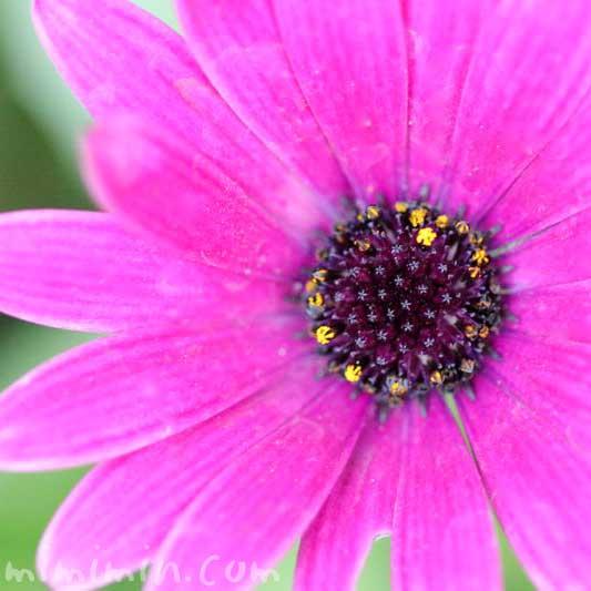 オステオスペルマム(赤紫色)の写真と花言葉の画像