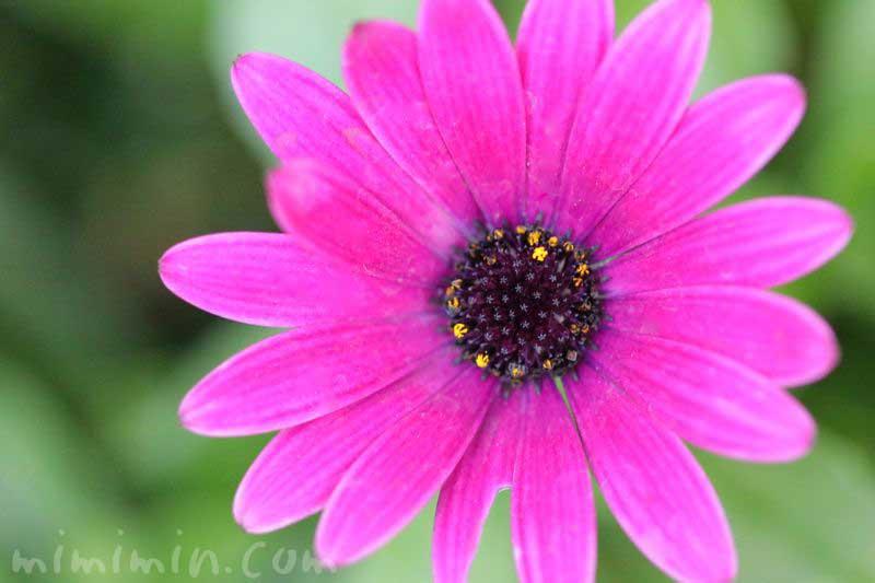 赤紫色のオステオスペルマムの写真と花言葉
