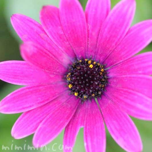 赤紫色のオステオスペルマムの写真 花言葉の画像