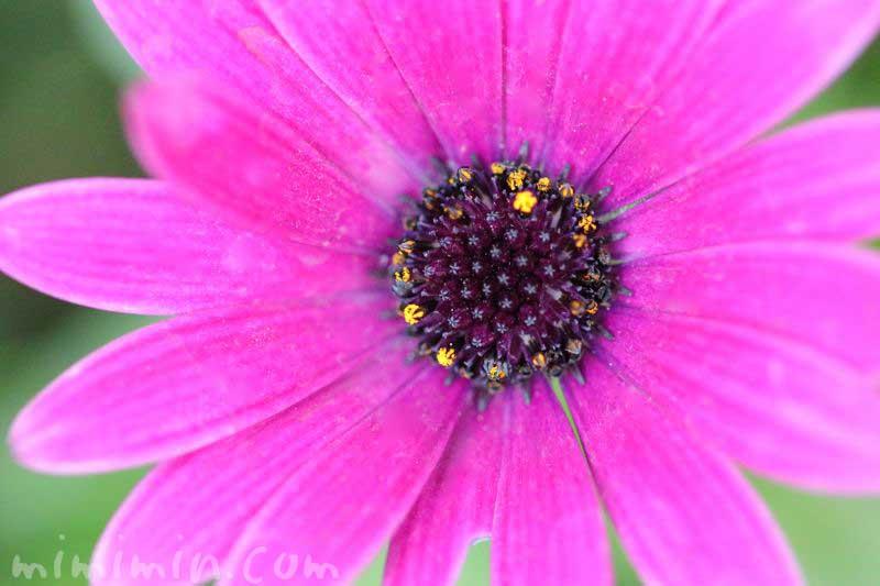 オステオスペルマム(赤紫色)の花の写真と花言葉の画像
