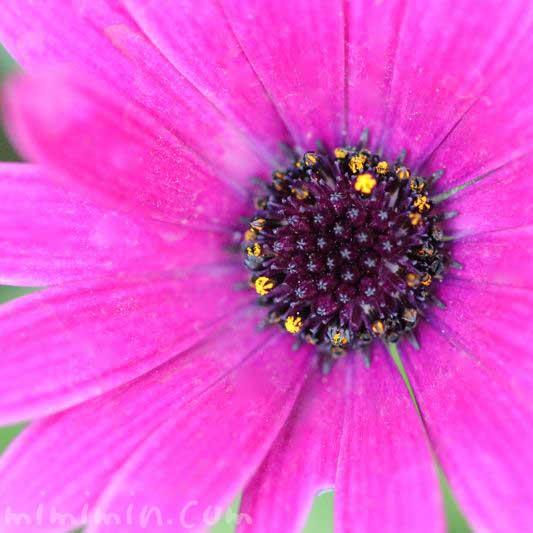 赤紫色のオステオスペルマム|花の写真と花言葉の画像