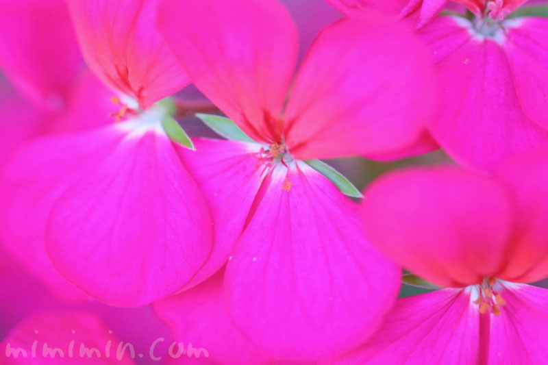 ゼラニウム(濃いピンク色) 花の写真と花言葉