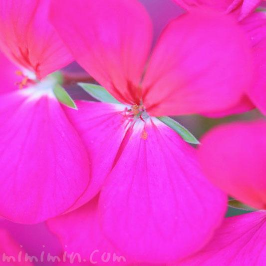 ゼラニウム(濃いピンク色) の写真と花言葉の画像