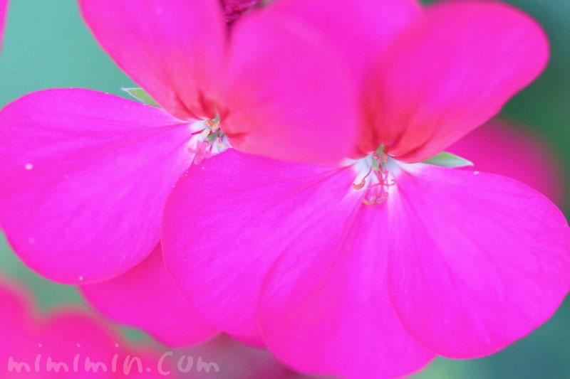 濃いピンク色のゼラニウム(花の写真&花言葉)の画像