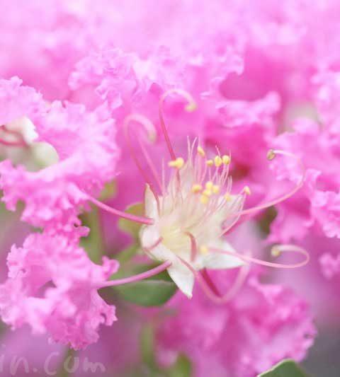 サルスベリの花言葉・名前の由来・花の写真