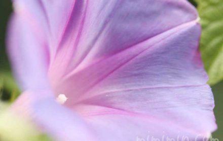 琉球朝顔の写真・花言葉の画像