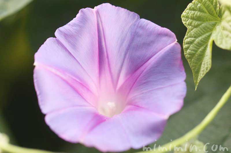 琉球朝顔の花の写真と花言葉