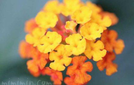 ランタナ(オレンジ色×黄色)花の写真・花言葉の画像