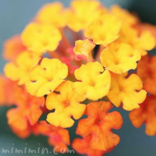 オレンジ色のランタナの花の写真・花言葉の画像