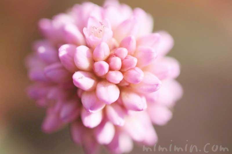 ヒメツルソバ・姫蔓蕎麦の花言葉・誕生花の画像