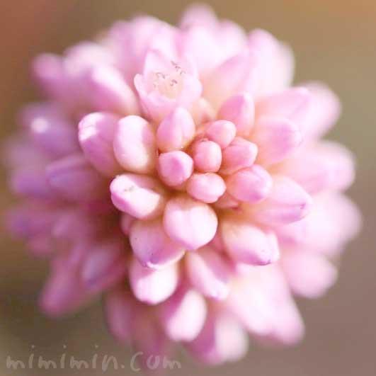 ポリゴナムの花言葉・誕生花の画像